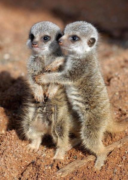 Baby Meerkats Are Called Pups