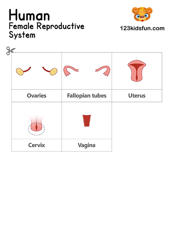 Female Reproductive System - Human Body Systems for Kids Free Printables - Homeschooling