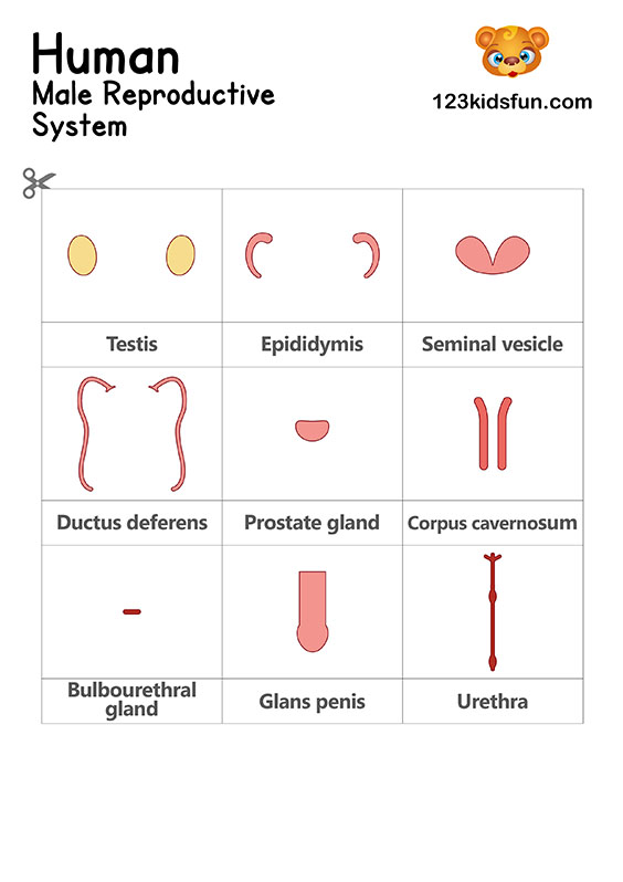 Male Reproductive System - Human Body Systems for Kids Free Printables - Homeschooling