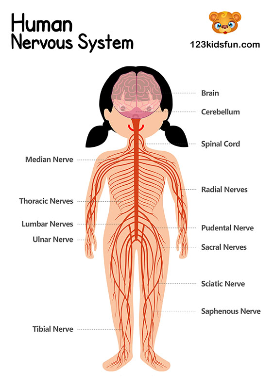 Nervous System - Human Body Systems for Kids Free Printables - Homeschooling