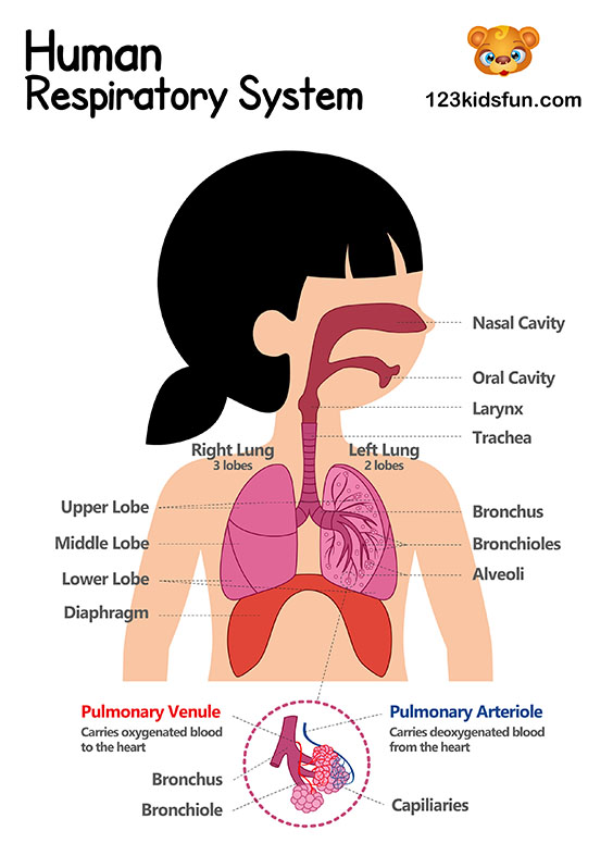 Respiratory System - Human Body Systems for Kids Free Printables - Homeschooling