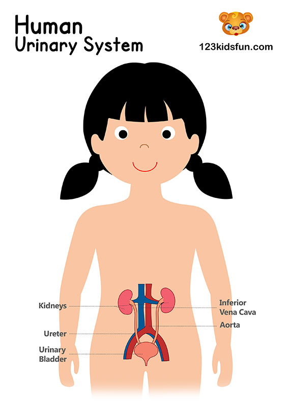 Urinary System - Human Body Systems for Kids Free Printables - Homeschooling
